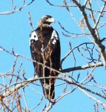 La minería de tierras raras, incompatible con especies amenazadas como el águila imperial y el lince 5