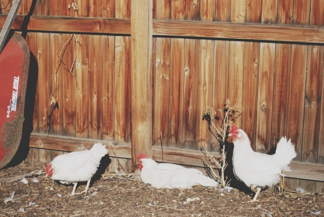 A Denver Home Companion | urban chickens