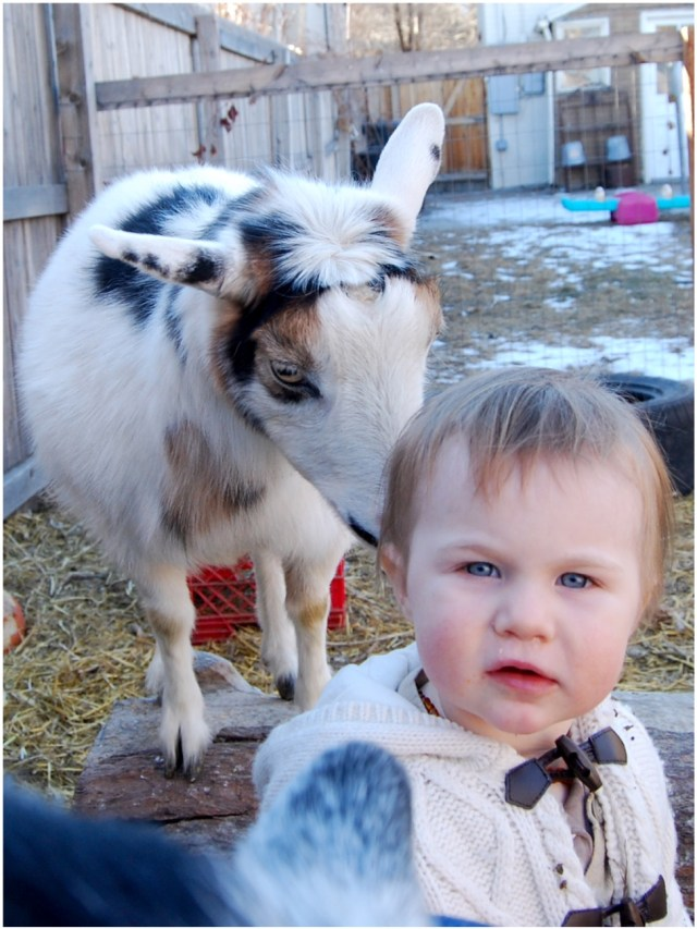A Denver Home Companion | goats in the city