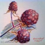 Blackberries in coloured pencil