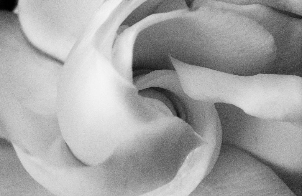 stylised picture of a gardenia flower closeup in a soft focus