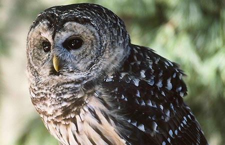 Barred Owl Species Profile Alaska Department Of Fish And Game