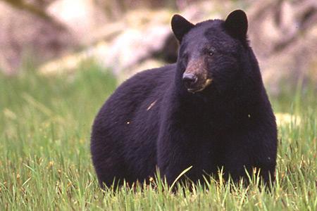black bear species profile
