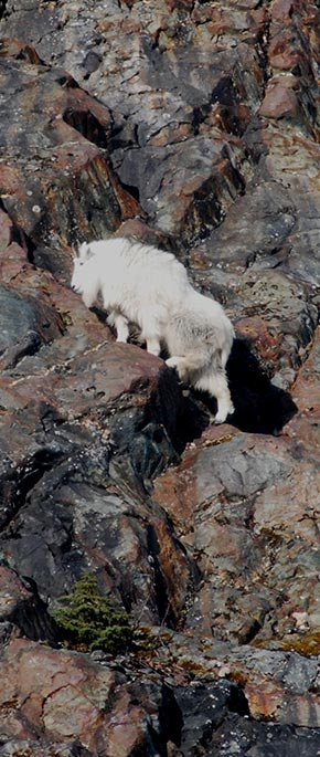Mountain Goat Species Profile Alaska Department of Fish and Game