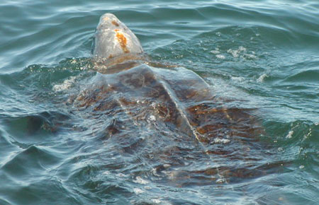 https://i0.wp.com/www.adfg.alaska.gov/static/species/speciesinfo/leatherbackseaturtle/images/leatherback_noaa_4.jpg