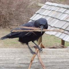 Michigan Adirondack Chair Hanging Daraz Birds In Spring: Nesting Crows - The Almanack