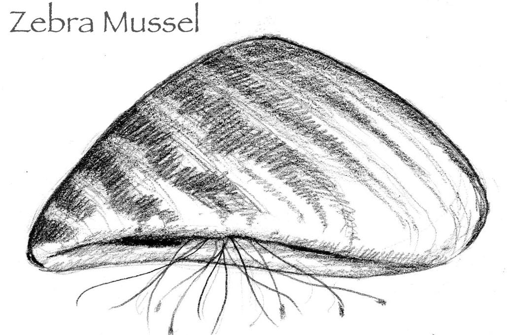 Understanding Zebra Mussel Impacts On Lake Champlain