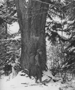 old white pine that would have been flooded by the Higley Mtn Dam. The tree, while dead, still stands today. It takes more than 4 people to put their arms around it.