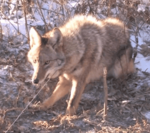 A Cable Restraint Caught Coyote in Missouri