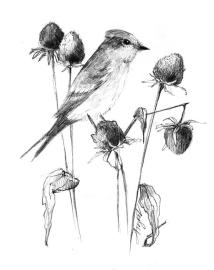 Phoebe w/ seed heads