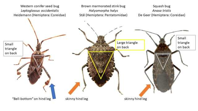 Stink, squash and seed bugs: Uninvited pests - - The Adirondack