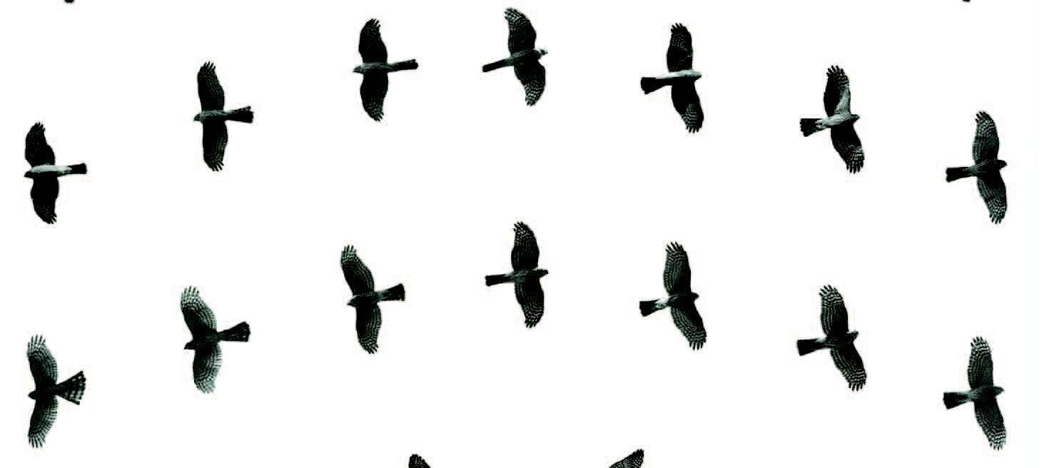 Hawks at a Distance: Identification of Migrant Raptors