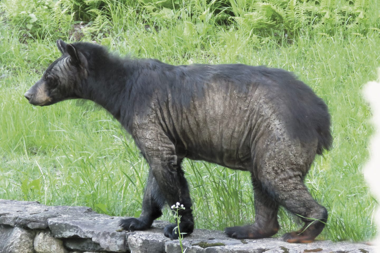 bear affliction spreads adirondack