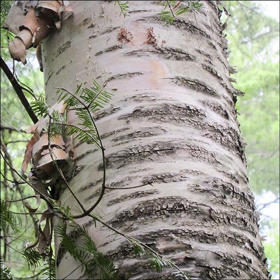 Trees Of The Adirondacks Paper Birch Betula Papyrifera