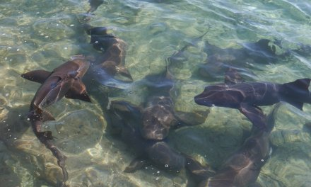 Sharks, rays and pigs, oh my!