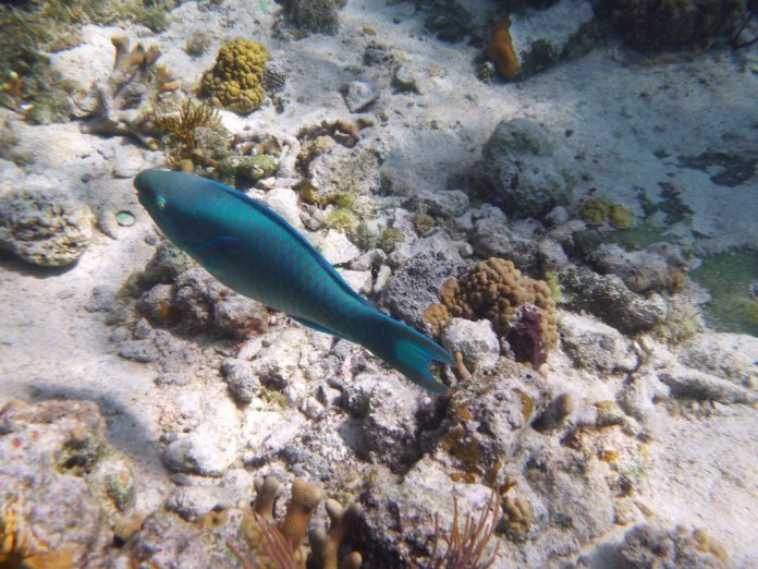Another Queen Parrotfish - Thunderball Grotto Staniel Cay