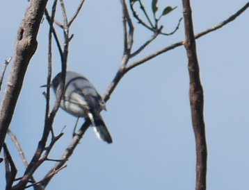 "Blue-grey Gnatcatcher (4"") (Polioptila caerulea) - Manjack Cay, Abaco"