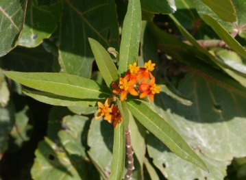 Scarlet milkweed (Asclepias currasavica) used in bush medicine for ringworm and fever or as an emetic