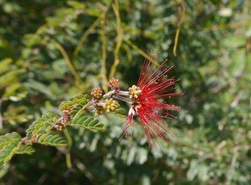 Calliandra, Red Casina (Calliandra haematomma) - Green Turtle Cay