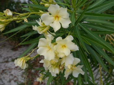 Yellow Oleander (Nerium sp) - Marsh Harbour Abaco