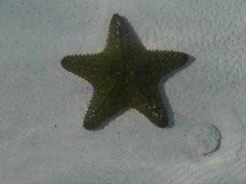 Green small cushion sea star - Allen's Cay