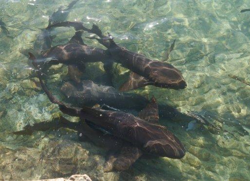 Nurse Sharks (Ginglymostoma cirratum) Staniel Cay