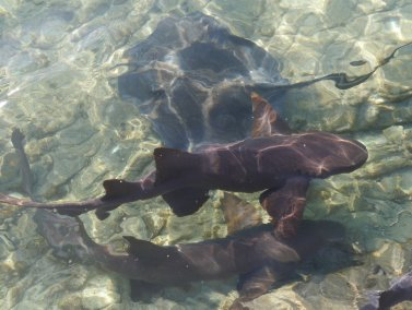 Nurse Sharks (Ginglymostoma cirratum) and Southern Sting Ray, Staniel Cay