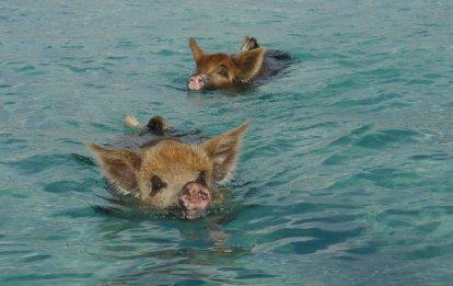 Swimming Pigs at Big Major Spot, Exuma