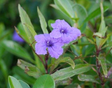 Ruellia (Ruellia caroliniensis) - used in bush medicine for tea, coughs and colds - Great Exuma