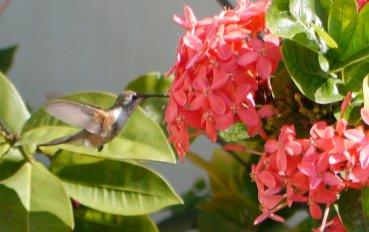 Bahama woodstar (Calliphlox evelynae), a species of hummingbird, on Ixora