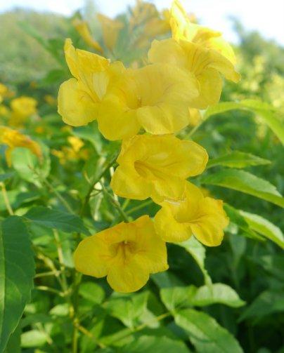 Yellow trumpet vine (Podranea) - Staniel Cay