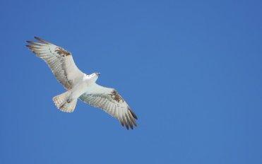 Osprey - Shroud Cay