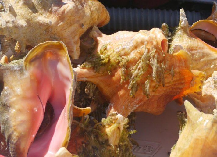 Queen Conch (Strombus sp)- Norman's Cay