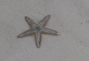 Sand Star (Astropecten irregularis) Bimini