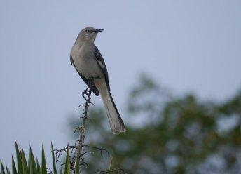 Northern Mockingbird (Mimus polyglottos) - South Bimini