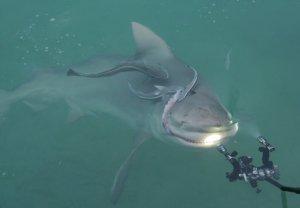 Shark feeding!