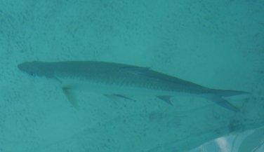 Tarpin - this one was BIG (Bimini) - they can grow to 8 feet!