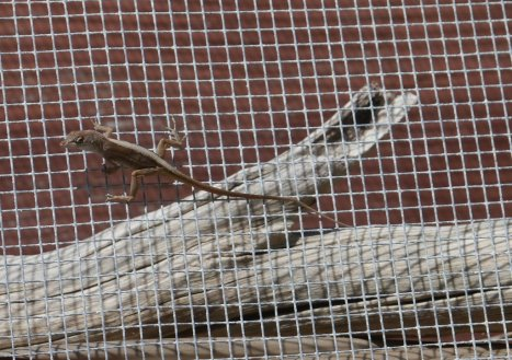Common Gecko (Hemidactylus frenatus) - unlike lizards gecko's cannot blink. seen on South Bimini