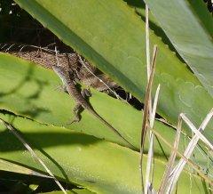 Lizard in a sisal plant