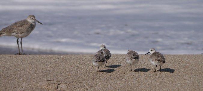 Sandpiper family - Stocking Island Exuma
