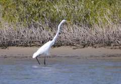 Great egret near our anchorage