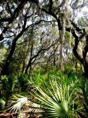 Live oaks and saw palmetto predominate in the forest