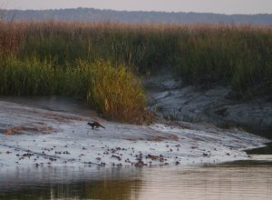 An otter scampers up a bank in New Teakettle Creek