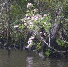 Wild Piedmont Azalea