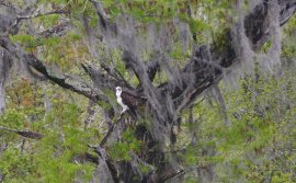 Spanish moss and osprey