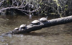 Pond sliders basking
