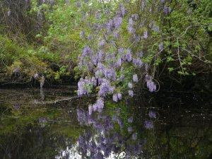 Wisteria hanging over the banks in the Dismal Swamp