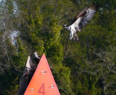 An osprey building its nest - near Solomons Island
