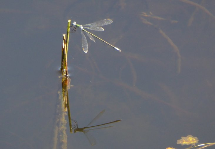 damsel fly reflection