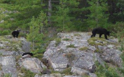 Bears are Cute!
